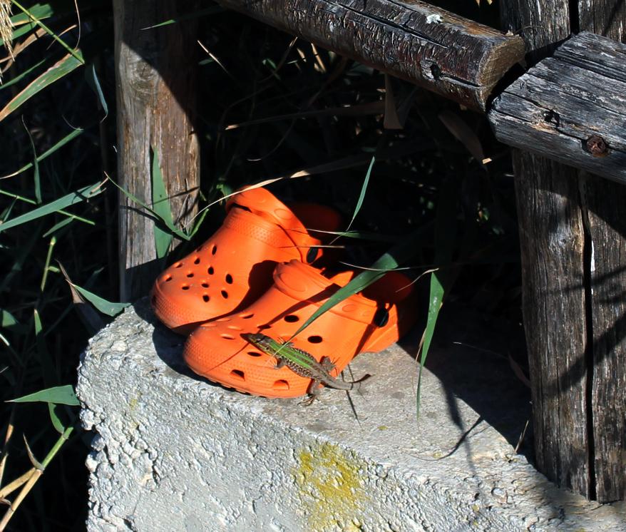 Lizard on Crocs