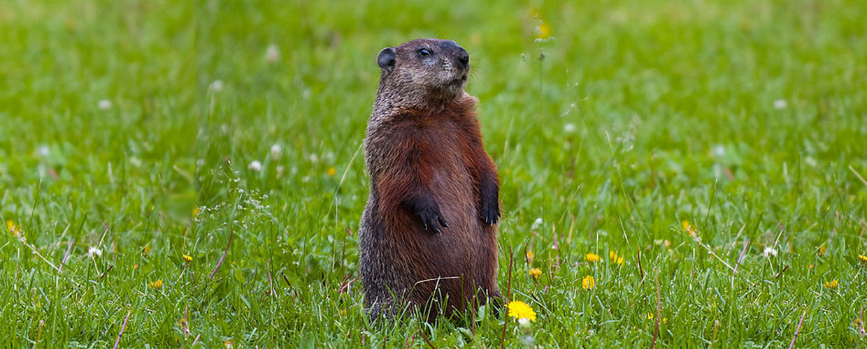 how much wood could a woodchuck chuck poem