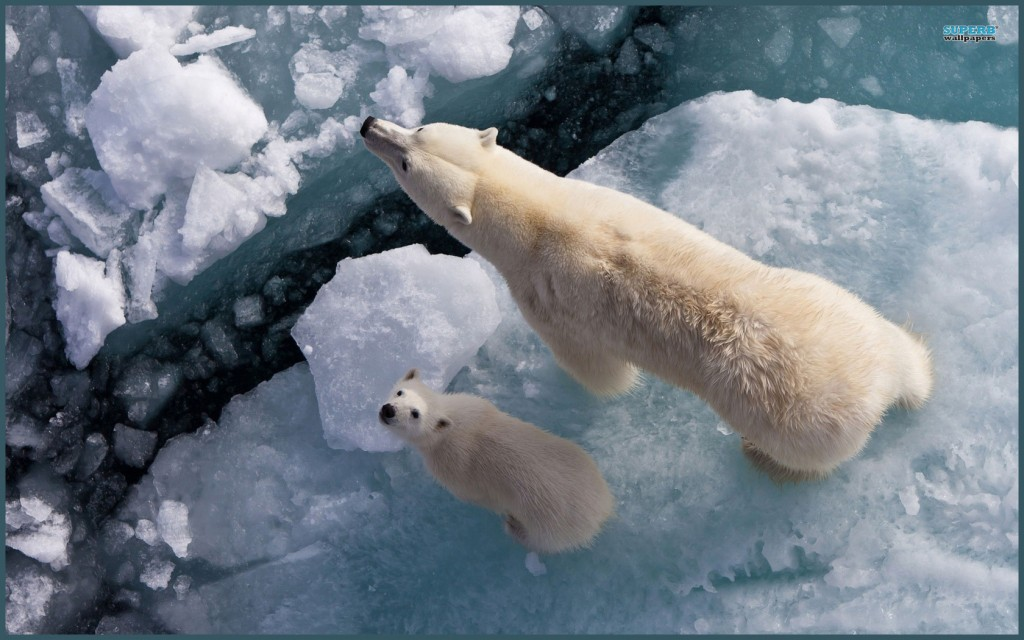 polar-bears-ice