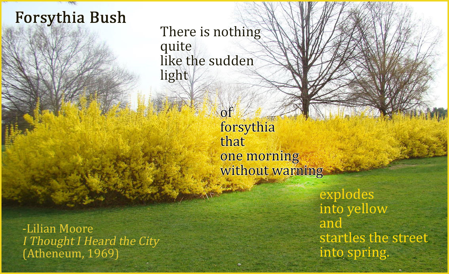 Forsythia-Bush-spread