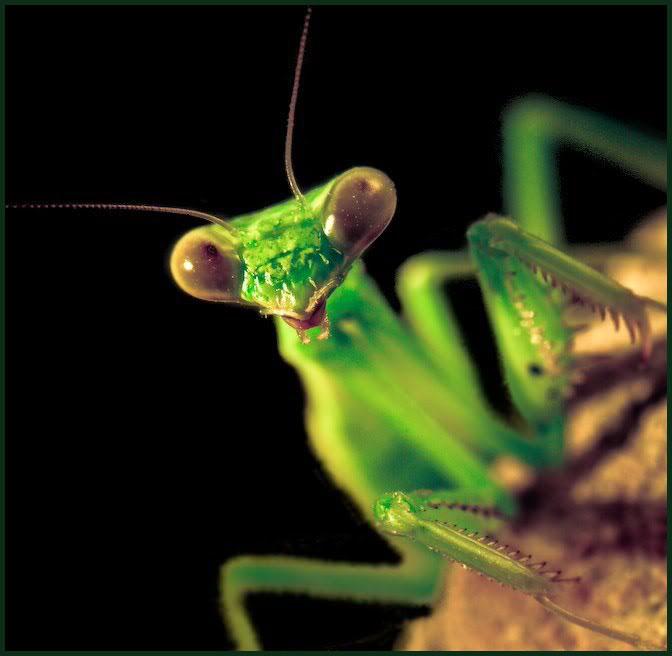 mantis-head