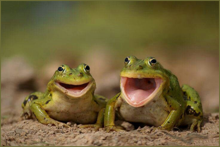 Laughing-Frog-Meme-09